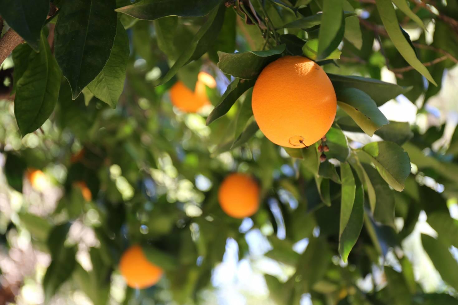 Citrus Grove