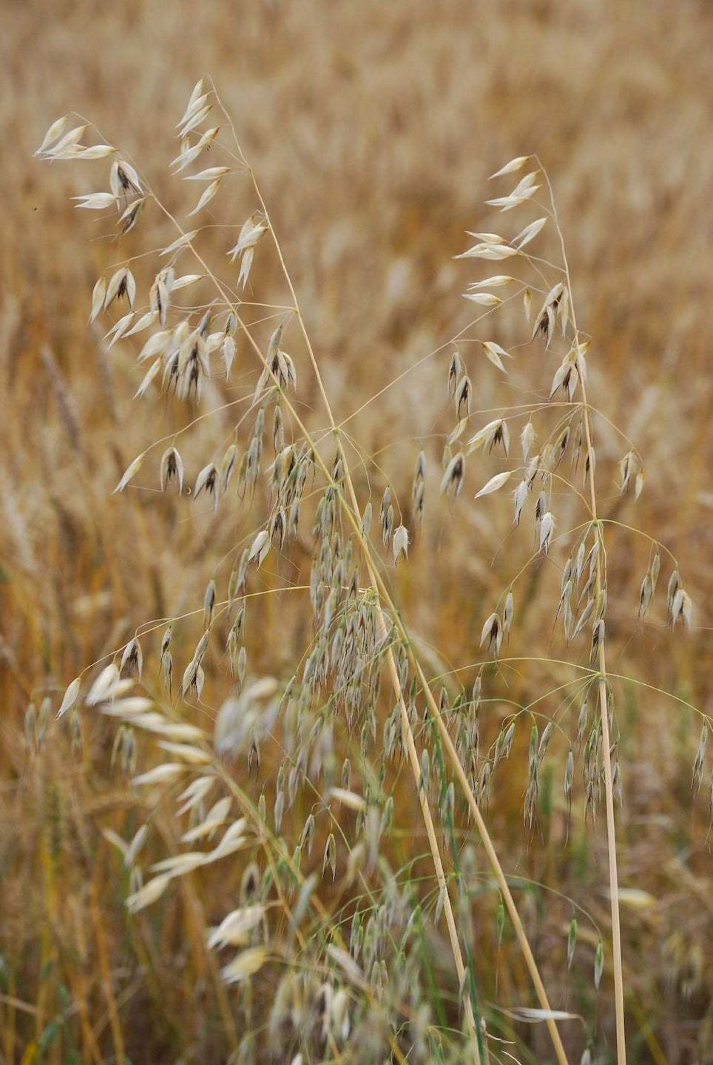 Crop Rotation With Oats