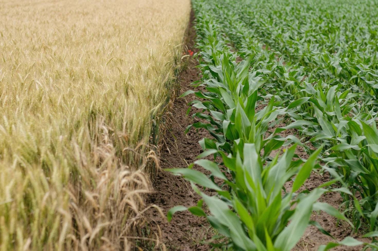 Crops Growing In Healthy Soil