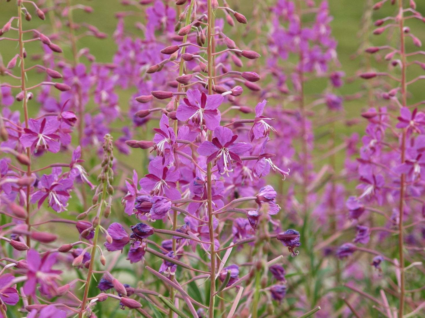 The Edible Plant Fireweed
