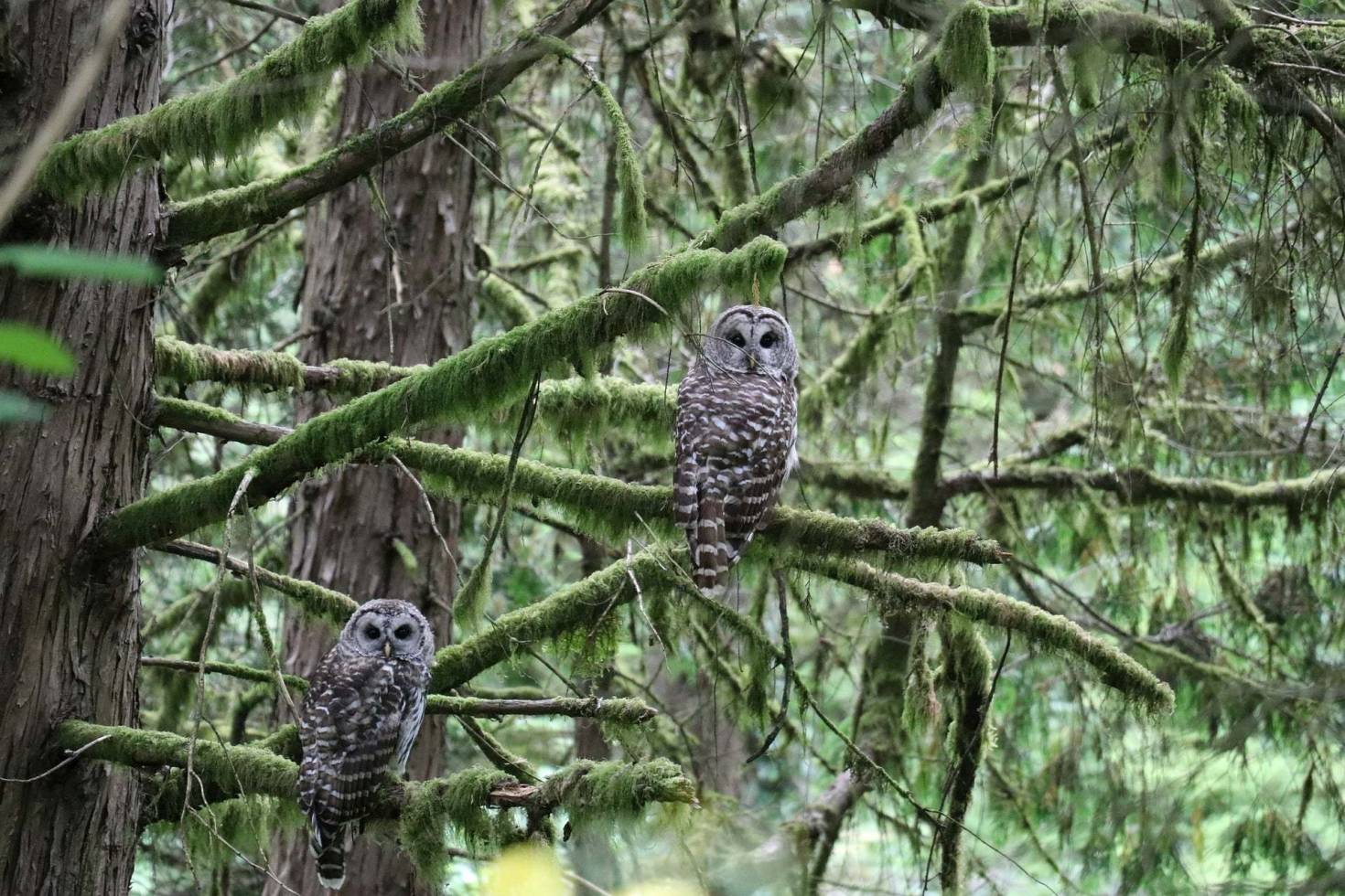 Owls In The Forest